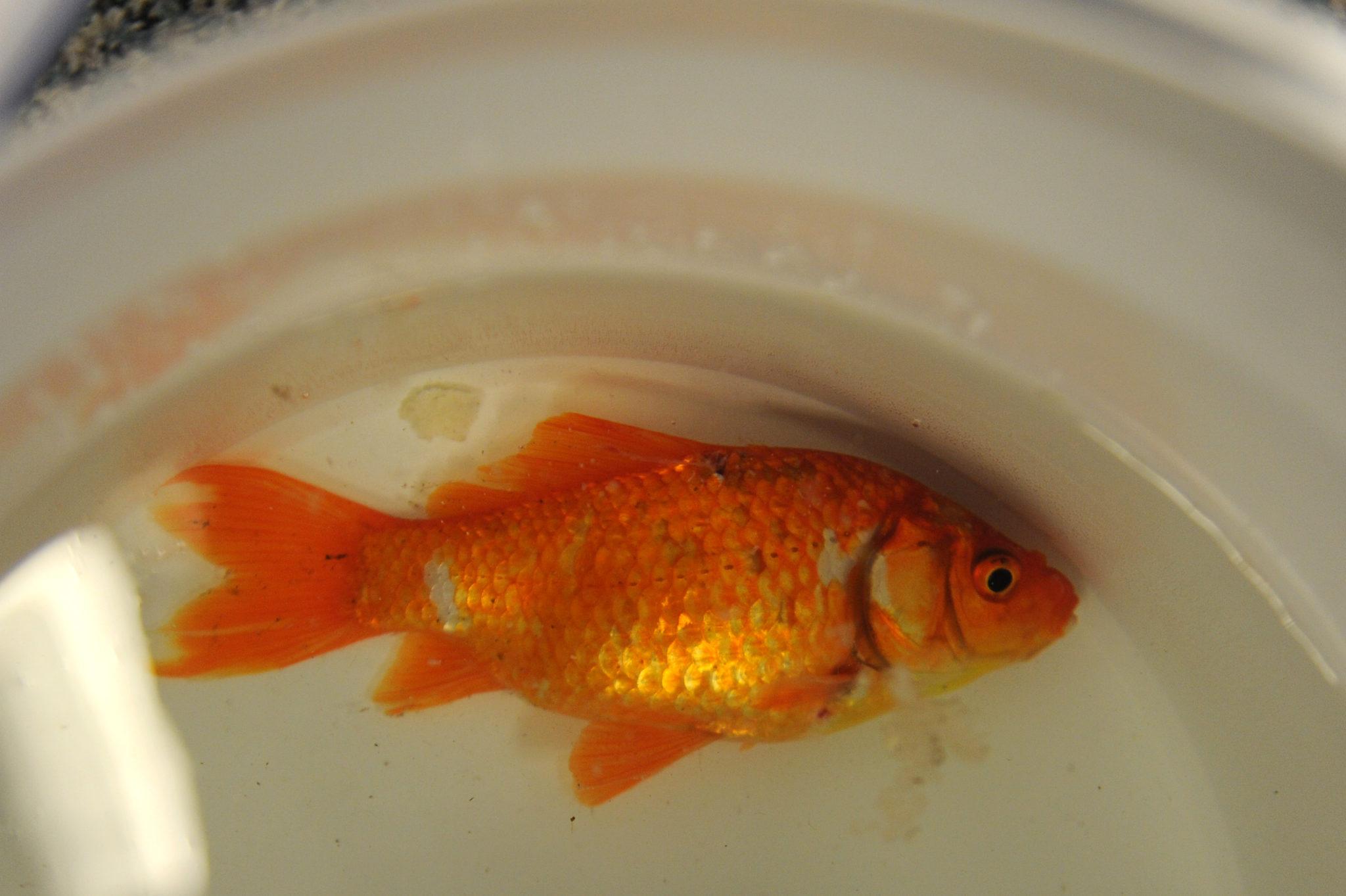 Flushing dead goldfish is safe