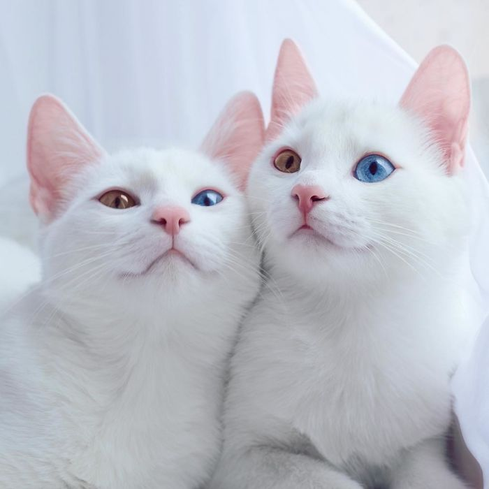 Iriss and Abyss - Twin Cats