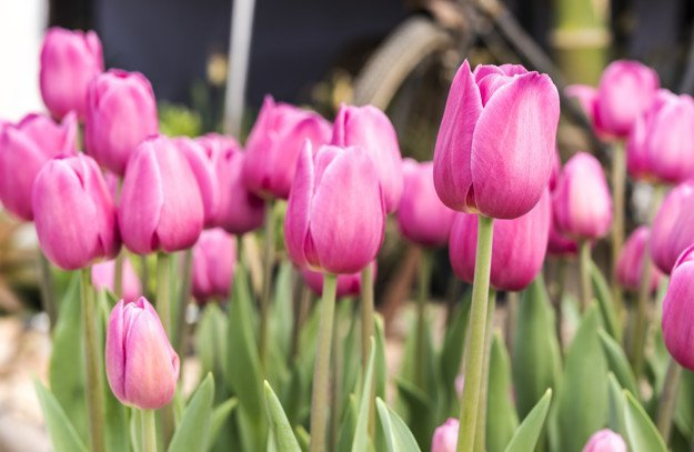 Valentine's Tulips