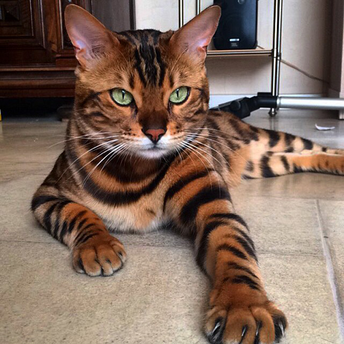Thor, The Bengal Cat