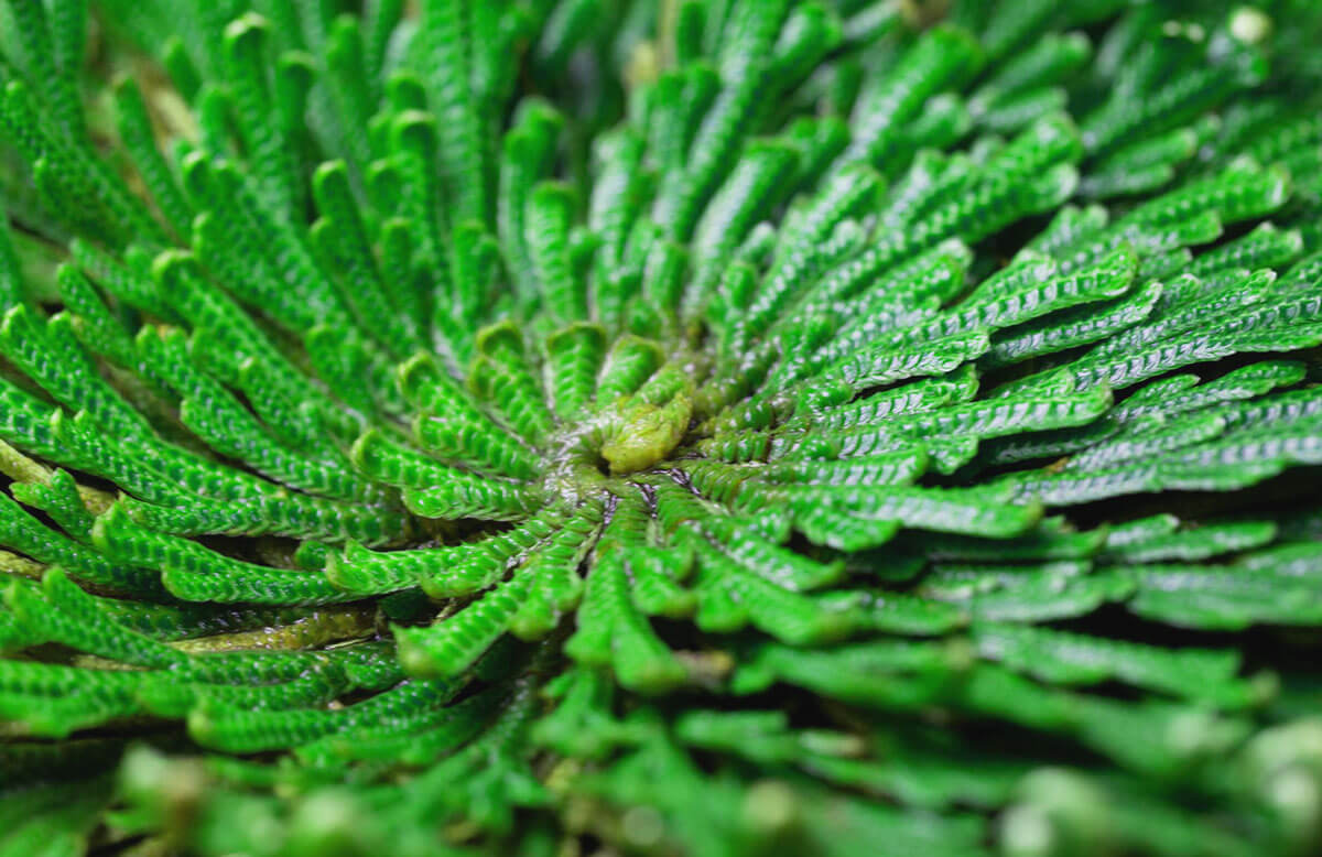 What Is A Resurrection Plant?
