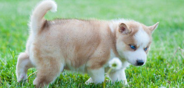 Husky and Pomeranian mix: character