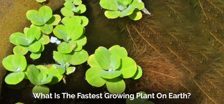 What Is The Fastest Growing Plant On Earth?