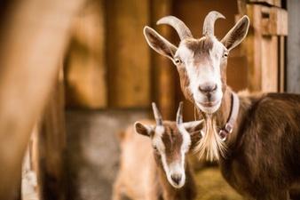 Goat Milk: