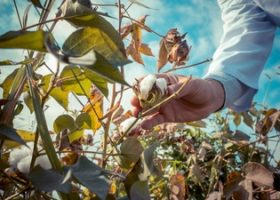 Antique Cotton Harvester