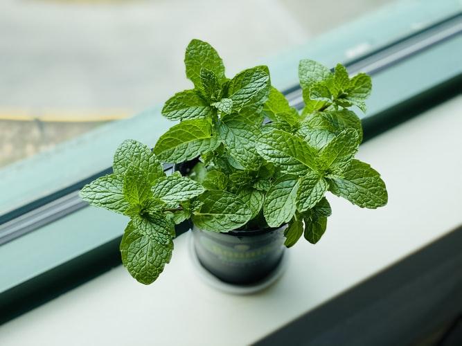 Planting Mints